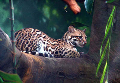 Ocelot - punduris leopards